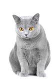 Gato azul britânico novo que senta-se no branco Fotos de Stock Royalty Free