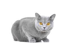 Gato azul britânico novo que senta-se no branco Imagens de Stock