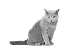Gato azul britânico novo que senta-se no branco Imagem de Stock Royalty Free