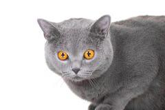 Gato azul britânico novo que senta-se no branco isolado Fotos de Stock Royalty Free