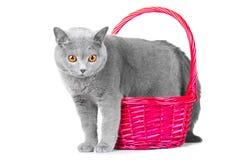 Gato azul britânico que está perto da cesta cor-de-rosa Foto de Stock Royalty Free
