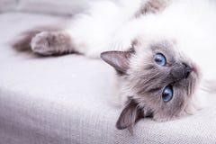 Gato azul de Ragdoll del colorpoint que miente en el sofá Imágenes de archivo libres de regalías