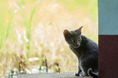 Gato azul de Siames Fotos de archivo libres de regalías
