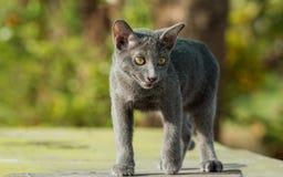 Gato azul de Siames Imágenes de archivo libres de regalías