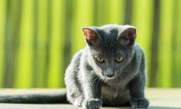 Gato azul de Siames Imagenes de archivo