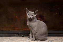 Gato azul do russo Fotos de Stock Royalty Free