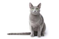Gato azul do russo imagem de stock