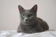 Gato azul do russo Imagem de Stock Royalty Free