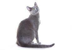 Gato azul do russo Imagens de Stock