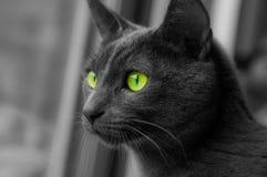 Gato azul do russo Foto de Stock Royalty Free