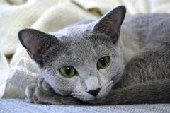 Gato azul do russo fotografia de stock royalty free