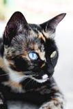 Gato, azul e amarelo impares dos olhos do close-up Fotografia de Stock Royalty Free