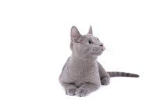 Gato azul ruso imágenes de archivo libres de regalías