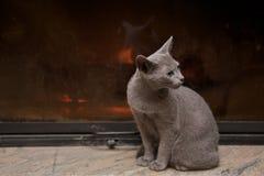 Gato azul ruso fotografía de archivo