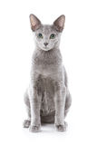 Gato azul ruso Imagenes de archivo