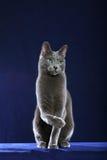 Gato azul ruso fotografía de archivo libre de regalías