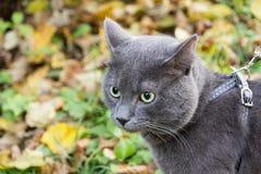 Gato azul ruso al aire libre foto de archivo