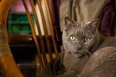 Gato azul ruso en hogar Imagen de archivo