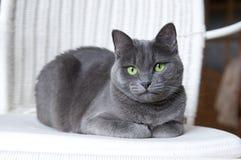 Gato azul ruso en la butaca de mimbre blanca Foto de archivo