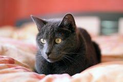 Gato azul ruso en la cama Imagen de archivo