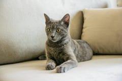 Gato azul ruso, gatito que se sienta en el sofá gris Foto de archivo libre de regalías