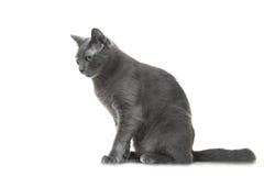 Gato azul ruso que se sienta en fondo blanco aislado Imágenes de archivo libres de regalías