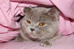 Gato bajo el coverlet Foto de archivo libre de regalías