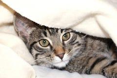 Gato bajo una manta Foto de archivo libre de regalías