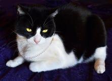 Gato bastante blanco y negro que lleva un collar de la perla Imagen de archivo libre de regalías