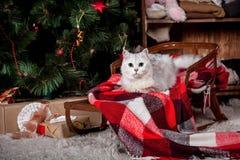 Gato bastante gris, días de fiesta, la Navidad, Año Nuevo Fotografía de archivo libre de regalías