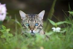 Gato - Bengal que olha para fora Fotografia de Stock Royalty Free
