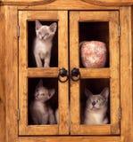 Gato birmano y gatitos Imagen de archivo