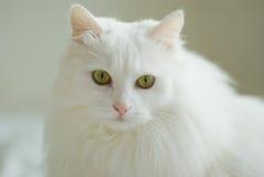 Gato blanco Imagenes de archivo