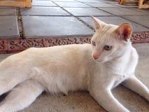 Gato blanco Fotografía de archivo libre de regalías