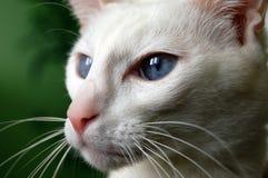 Gato blanco imagen de archivo