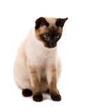 Gato blanco Imagen de archivo libre de regalías