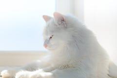 Gato blanco Fotografía de archivo