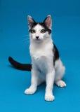 Gato blanco con el adolescente de los puntos negros que se sienta en fondo azul Imagen de archivo