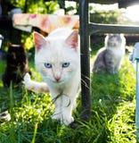 Gato blanco con el primer de los ojos azules Fotografía de archivo