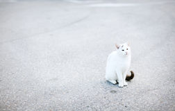 Gato blanco con la cola negra que se sienta en el camino, asfalto Foto de archivo libre de regalías