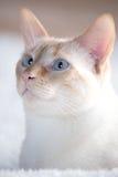 Gato blanco con los ojos azules Foto de archivo libre de regalías