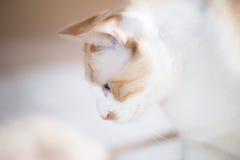 Gato blanco con los ojos azules Foto de archivo