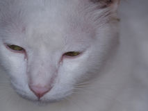 Gato blanco con los ojos verdes Imagen de archivo