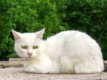 Gato Gato blanco con los ojos verdes relajados en una pared fotografía de archivo