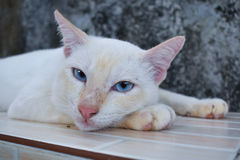 Gato blanco con mirada de los ojos azules algo foto de archivo