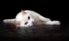 Gato Royalty Free Stock Images