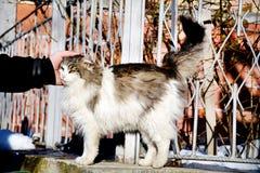 Gato blanco de la caricia humana de la mano al aire libre Imagen de archivo