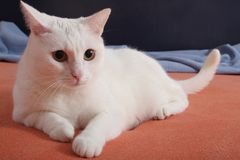 Gato blanco de mentira Foto de archivo