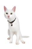 Gato blanco de Ragdoll con los ojos verdes Imágenes de archivo libres de regalías