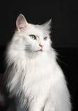 Gato blanco del angora Foto de archivo